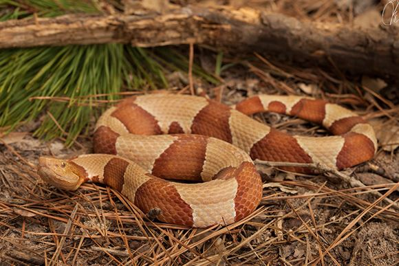 Broad Banded Copperhead