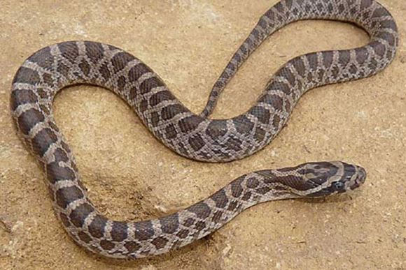 Great Plaines Rat Snake